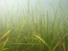 Seagrasses - Combined Biological Section