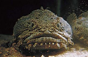 Oyster Toadfish Edible