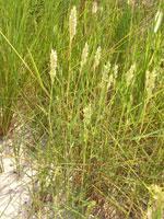 Wetland Plants - High Salt Marsh