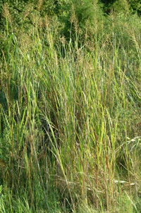 Spartina cynosuroides community