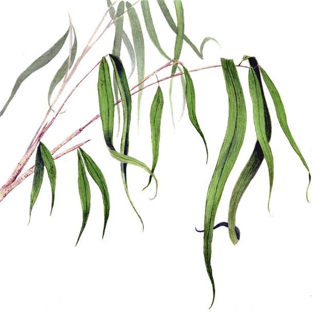 arum cane