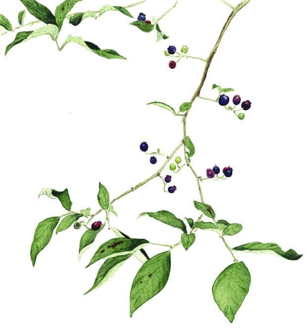 Blueberry Bush Drawing